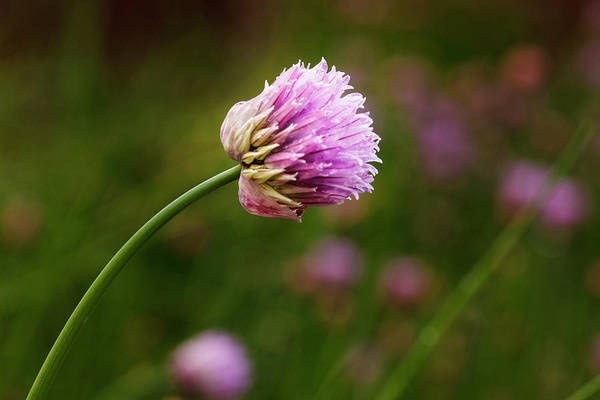 Chive Photograph - Usa, Oregon, Keizer, Chives In Backyard by Rick A Brown