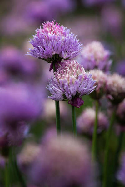 Chive Photograph - Usa, Oregon, Keizer, Chives by Rick A Brown
