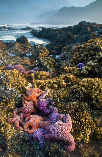 Strawberry Hills Wall Art - Photograph - Usa, Oregon Starfish And Sea Stars by Jaynes Gallery