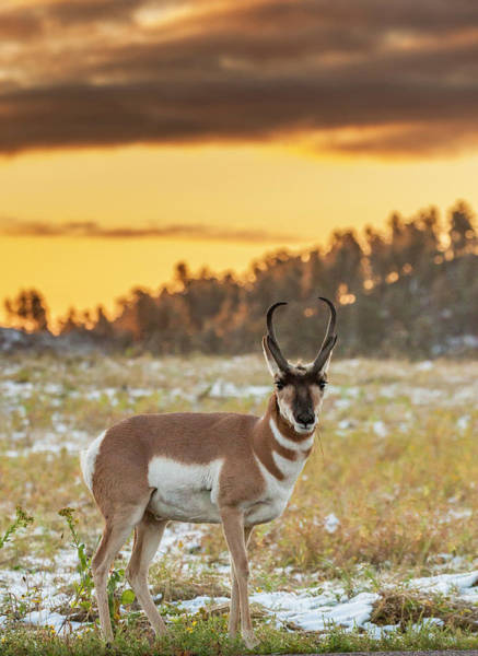 Pronghorn Antelope Wall Art - Photograph - Usa, South Dakota, Custer State Park by Jaynes Gallery