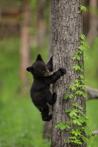 Cades Cove Photograph - Usa, Tennessee Black Bear Cub Climbing by Jaynes Gallery