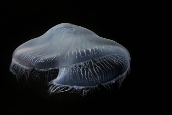 Jellyfish Photograph - Usa, Tennessee, Chattanooga by Jaynes Gallery