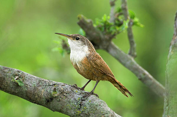 Wren Photograph - Usa, Texas, Hill Country by Jaynes Gallery