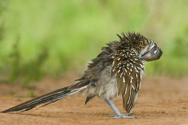 Greater Roadrunner Photograph - Usa, Texas, Rio Grande Valley by Jaynes Gallery