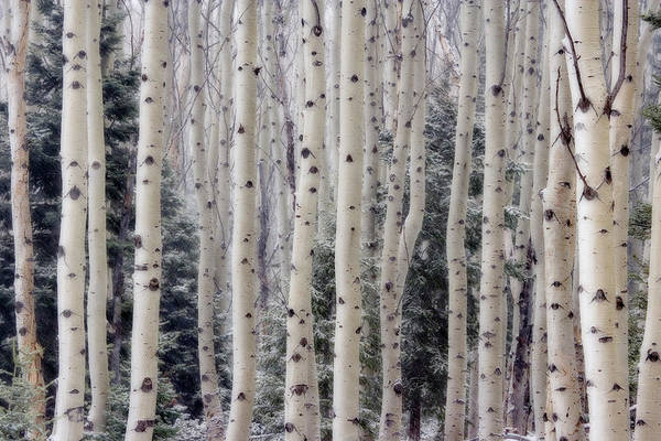 Don Photograph - Usa, Utah Aspen Trees In Hell's by Jaynes Gallery