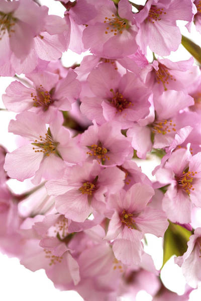 Wall Art - Photograph - Usa, Washington Dc, Cherry Blossoms by Hollice Looney