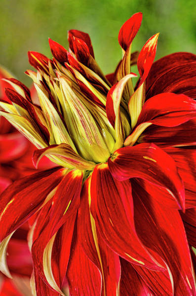 Wall Art - Photograph - Usa, Washington Detail Of Dahlia Flower by Jaynes Gallery