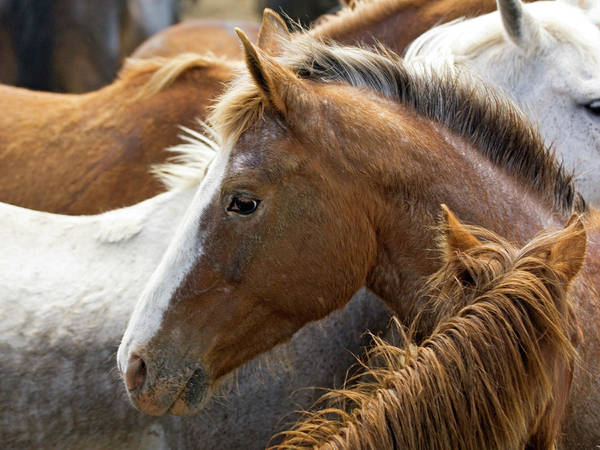 Corral Wall Art - Photograph - Usa, Washington, Malaga, Horse Head by Jaynes Gallery