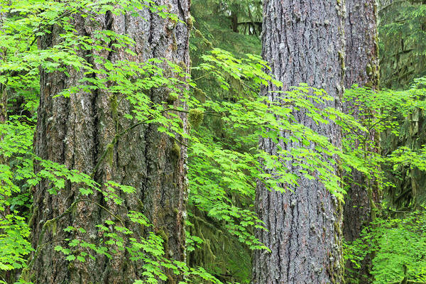 Hemlock Photograph - Usa, Washington, Olympic National Park by Jaynes Gallery