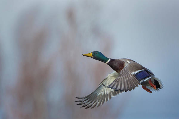 Anas Platyrhynchos Photograph - Usa Washington State Male Mallard (anas by Gary Luhm