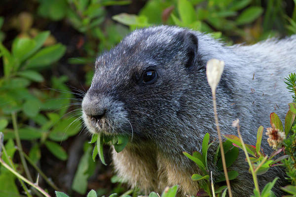 Marmot Photograph - Usa, Washington State, Mount Rainier by Jamie and Judy Wild