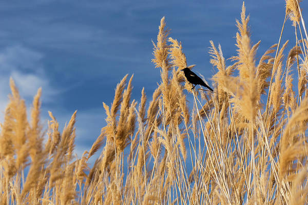 Red-winged Blackbird Wall Art - Photograph - Usa, Washington State, Walla Walla by Brent Bergherm