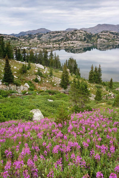 Fireweed Photograph - Usa, Wyoming, Bridger National Forest by Jaynes Gallery