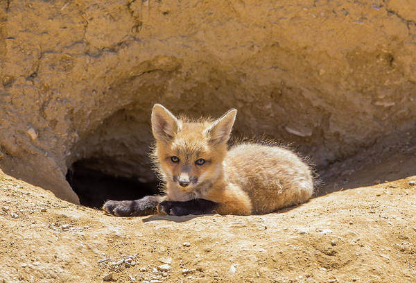 Carnivora Photograph - Usa, Wyoming, Lincoln County, A Red Fox by Elizabeth Boehm