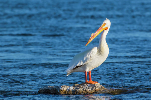 American White Pelican Wall Art - Photograph - Usa, Wyoming, Lincoln County, An by Elizabeth Boehm