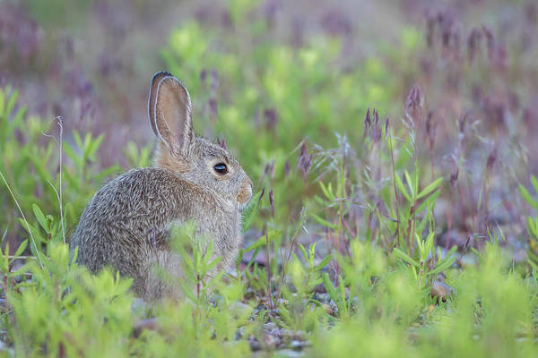 Cottontail Wall Art - Photograph - Usa, Wyoming, Lincoln County, Young by Elizabeth Boehm