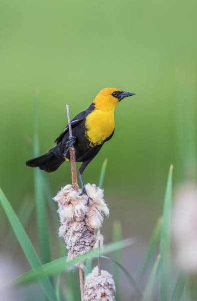 Cattails Wall Art - Photograph - Usa, Wyoming, Male Yellow-headed by Elizabeth Boehm
