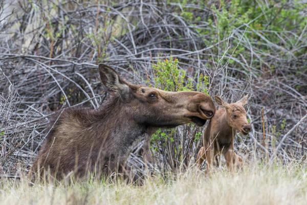 Baby Cow Photograph - Usa, Wyoming, Newborn Moose Calf Tries by Elizabeth Boehm