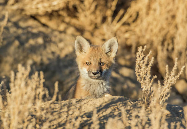 Wall Art - Photograph - Usa, Wyoming,  Red Fox Kit Peers by Elizabeth Boehm