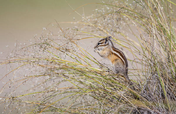 Chipmunk Photograph - Usa, Wyoming, Sublette County, Least by Elizabeth Boehm