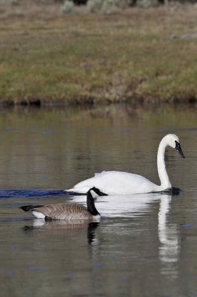 Trumpeter Swan Wall Art - Photograph - Usa, Wyoming, Trumpeter Swan, Canada by Gerry Reynolds