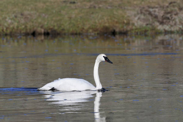 Trumpeter Swan Wall Art - Photograph - Usa, Wyoming, Trumpeter Swan by Gerry Reynolds