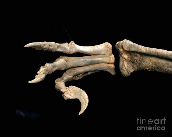 Photograph - Utahraptor Foot Fossil by Francois Gohier