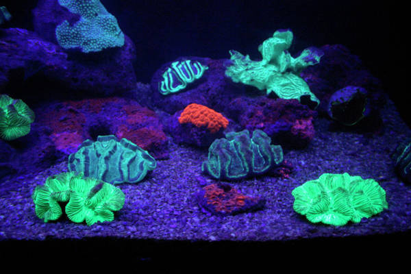 Fish Tank Photograph - Uv-illuminated Fluorescent Coral by Chris Martin-bahr/science Photo Library