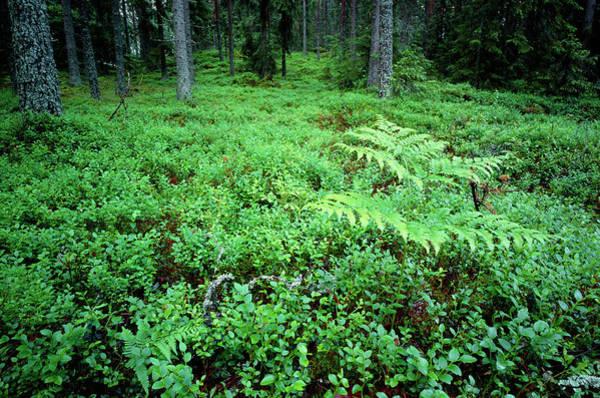 Bilberry Photograph - Vaccinium Myrtillus. by Bjorn Svensson/science Photo Library