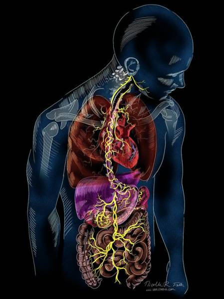 Vagus Nerve Anatomy Art Print by Nicolle R. Fuller/science Photo Library