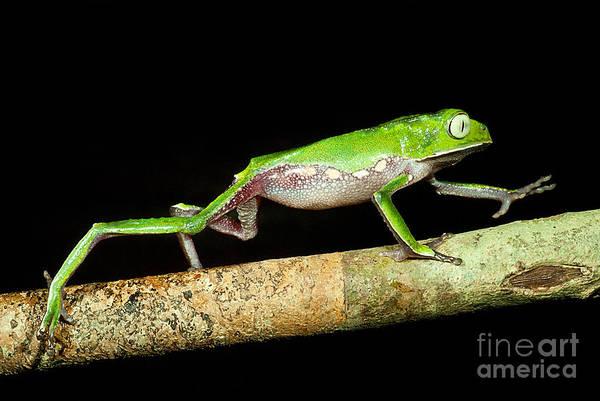 Photograph - Vaillantis Monkey Frog by Dante Fenolio