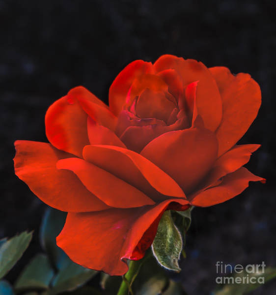 Rosaceae Wall Art - Photograph - Valentine Rose by Robert Bales