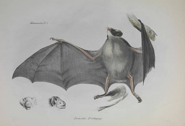 1838 Photograph - Vampire Bat by Natural History Museum, London/science Photo Library