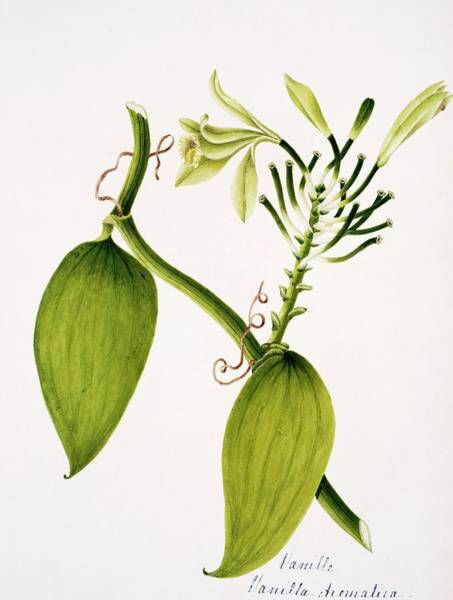 Wall Art - Photograph - Vanilla Plant Flowers by Natural History Museum, London/science Photo Library