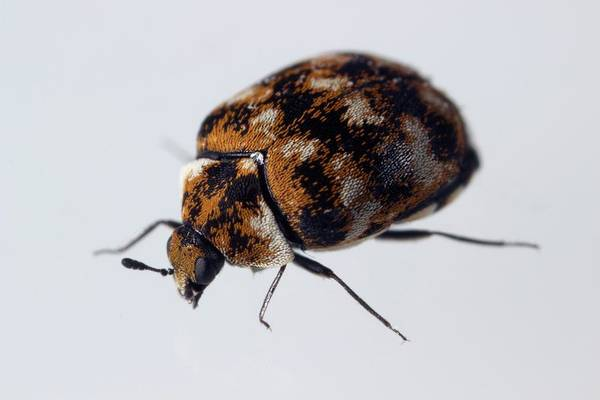 Coleoptera Photograph - Varied Carpet Beetle by Sinclair Stammers