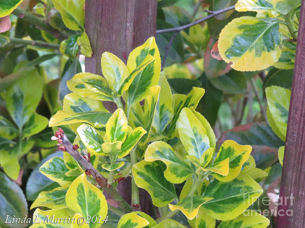 Photograph - Variegated 4 by Linda L Martin