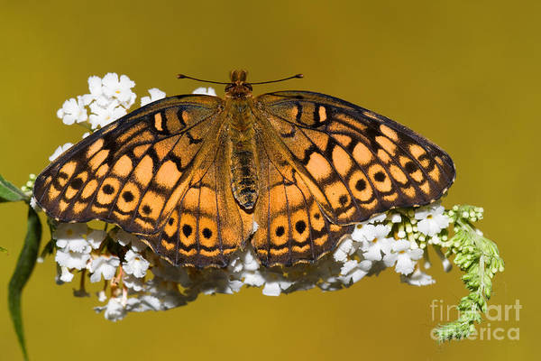 Duval County Photograph - Variegated Fritillary Butterfly by Millard H. Sharp