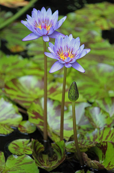 Seasonal Wall Art - Photograph - Variegated Purple Water Lilies by Suzanne Gaff