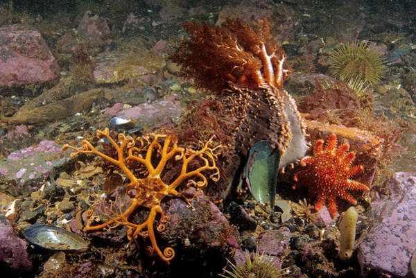 Basket Stars Photograph - Various Echinoderms by Andrew J. Martinez