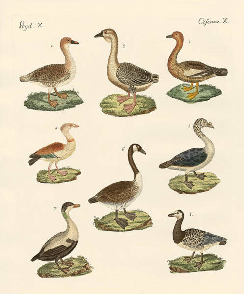 Goose Drawing - Various Kinds Of Geese by Splendid Art Prints