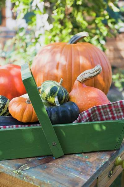 Cucurbits Photograph - Various Types Of Pumpkins And Squashes, Some In Wooden Basket by Foodcollection