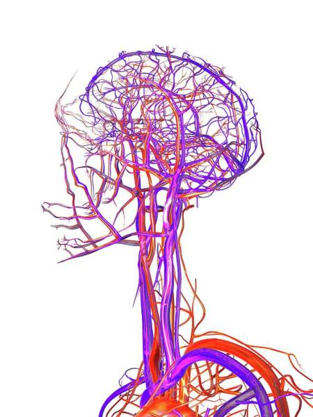 Artery Wall Art - Photograph - Vascular System Of The Head by Alfred Pasieka