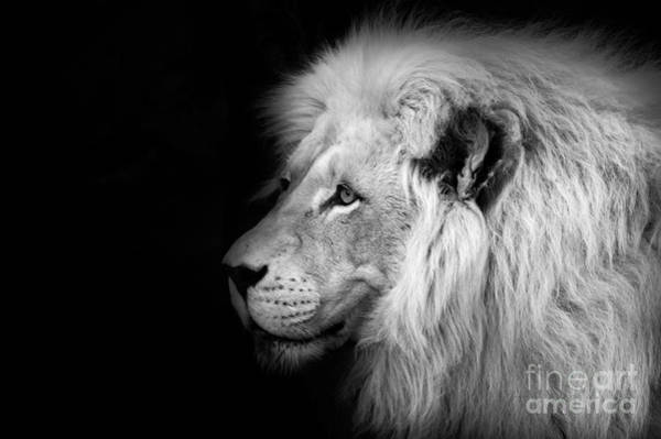 Sin Photograph - Vegas Lion - Black And White by Ian Monk