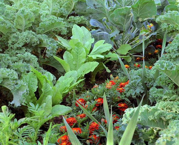 Vegetable Garden Photograph - Vegetable Garden 28a. by Bjorn Svensson/science Photo Library