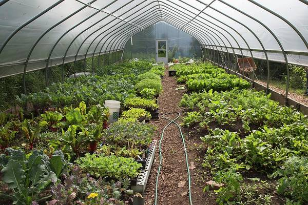 Security Service Photograph - Vegetables In A Polytunnel by Jim West