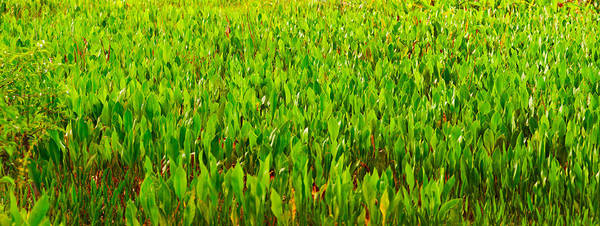 Boynton Photograph - Vegetation, Boynton Beach, Florida, Usa by Panoramic Images