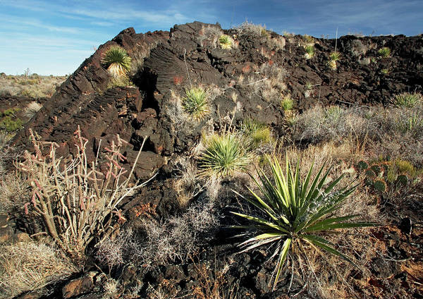 Prickly Pear Photograph - Vegetation On Recent Lava Flow by Bob Gibbons/science Photo Library