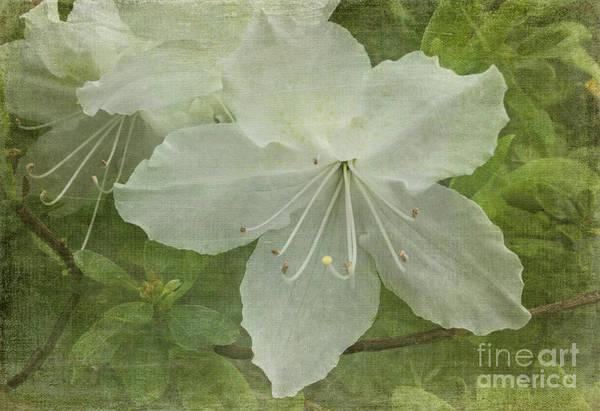 Azalia Photograph - Veiled Azalea by Arlene Carmel