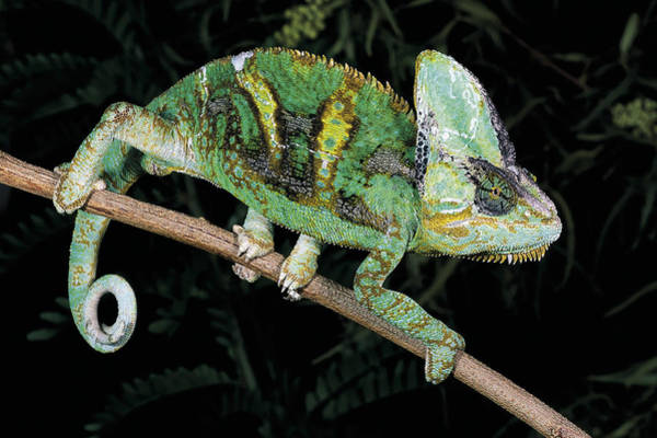 Wall Art - Photograph - Veiled Chameleon by Craig K. Lorenz