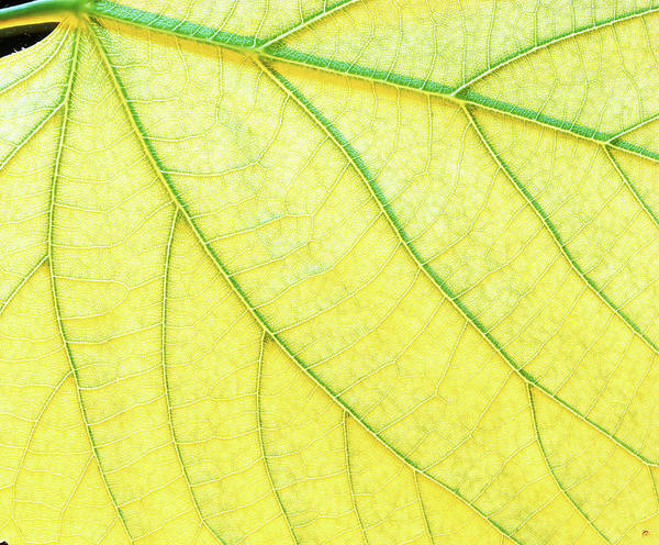 Wall Art - Photograph - Veins In A Lady's Mantle Leaf by Adam Hart-davis/science Photo Library